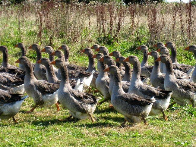 Pré Le Terme, canards destinés à la production de foie gras, au Buisson de Cadouin